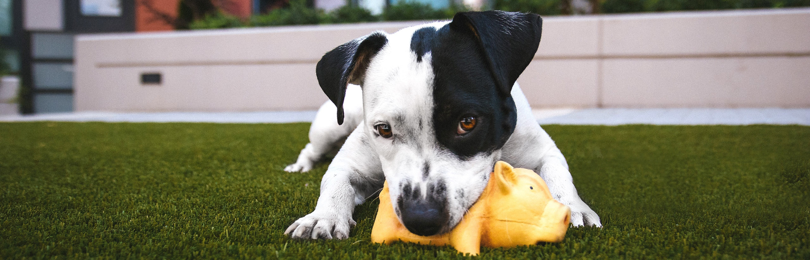 Black and white dog chews on a toy